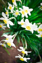 Bird eye top view of Beautiful White and yellow daffodils - narc Royalty Free Stock Photo