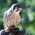 Bird, Falcon, Beak, Fauna