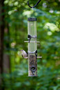 Bird on Feeder with Seed in Beak Royalty Free Stock Photography