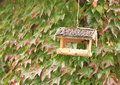 Bird feeder wooden for birds with wall overgrown with green ivy behind Stock Photos
