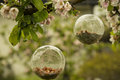 Bird feeders in glass in a blooming apple tree in spring on a rainy day Royalty Free Stock Photo