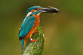 Bird with fish. Bird Common Kingfisher with fish in bill. Beautiful orange and blue bird sitting on the tree trunk. Bird with fish Royalty Free Stock Photo