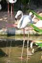 Bird flamingo standing in water Royalty Free Stock Photos