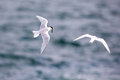 Bird in flight -  Back-naped Tern Royalty Free Stock Photo