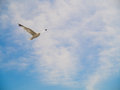 Bird flying in blue sky a seagull freely a cloud filled Stock Images
