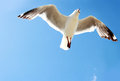 A bird flying high in the blue sky Royalty Free Stock Photo