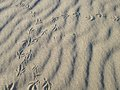 Bird footprints on long beach long island new york Stock Photos