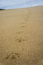 Bird footstep a s path on the sand Royalty Free Stock Images