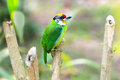 Bird golden throated barbet Royalty Free Stock Photo