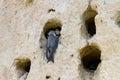 Bird at hollow feeding babies. Royalty Free Stock Photo