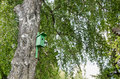 Bird house nesting box hang on birch tree trunk green old and branches move in wind Royalty Free Stock Photo
