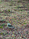 Bird hunting at coffee grains little insects while the dry the sun Royalty Free Stock Images