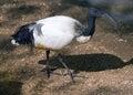 Bird ibis symbol stork egypt beak neck plumage swamp mummy nest Stock Photos