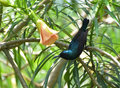 Purple sunbird (male) Royalty Free Stock Photo