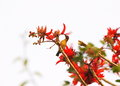 Bird on Indian Coral Tree, Variegated Tiger's claw, Erythrina variegata, red flowers with blue sky background Royalty Free Stock Photo