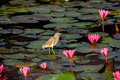Bird in lake standing on water lily leave at talay noi phattalung province thailand Stock Photography