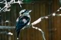 Bird laughing kookaburra Dacelo novaeguineae Royalty Free Stock Photo