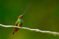 Bird with longest beak. Sword-billed hummingbird, Ensifera ensifera, bird with unbelievable longest bill, nature forest habitat, E Royalty Free Stock Photo