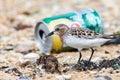 Bird looking food in rubbish on beach Stock Photography