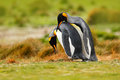 Bird love. King penguin couple cuddling, wild nature, green background. Two penguins making love. in the grass. Wildlife scene fro