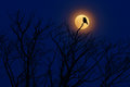 Bird with moon. Late evening with raven, black forest bird, sitting on the tree, dark day, nature habitat. Magic night with moon l
