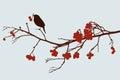 Bird on mountain ash branch
