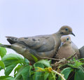 Bird-Mourning doves(zenaida macroura) Stock Images