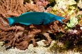 Bird Mouth Wrasse Stock Image