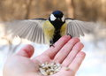 Bird on my hand great tit feeding Royalty Free Stock Images