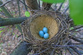 Bird nest with blue eggs Royalty Free Stock Photo