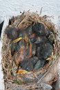 Bird nest with chicks a five nestlings spotted flycatcher Stock Photography