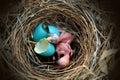 Bird nest egg Royalty Free Stock Photo