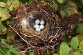 Bird nest with eggs Stock Photos