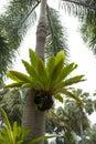 Bird nest fern, tropical fern Royalty Free Stock Photo