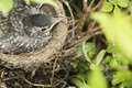 Bird in nest Royalty Free Stock Photo