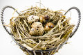 Bird nest with quail eggs in basket Stock Image