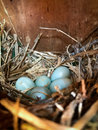 Bird nest in spring on a wooden box with five blue eggs inside Royalty Free Stock Photo