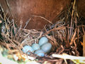 Bird nest on a  wooden box with five blue eggs Royalty Free Stock Photo