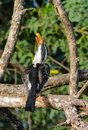 Bird northern red-billed hornbill on the tree Royalty Free Stock Photo