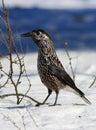 Bird Nutcracker in the Siberian taiga in the snow Royalty Free Stock Photo