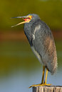 Bird with open bill. Water bird sitting on the tree stump. Beach in Florida, USA. Water bird Tricolored Heron, Egretta tricolor Royalty Free Stock Photo