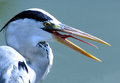 Bird open mouth to show the long red tongue big it it while fishing at rive side Stock Photography