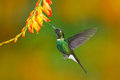 Bird with orange flower. Flying hummingbird. Action scene with hummingbird. Tourmaline Sunangel eating nectar from beautiful yello Royalty Free Stock Photo