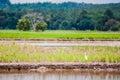 Bird at padi field Royalty Free Stock Photo