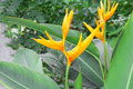 bird of paradise Beautiful yellow flower Royalty Free Stock Photo