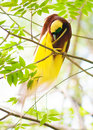 Bird of paradise is cleaning feathers one the most exotic birds in papua new guinea lesser or paradisaea minor on tree Stock Photography