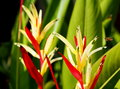 Bird of paradise, colorful exotic tropical flower in nature Royalty Free Stock Photo