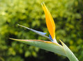 Bird of paradise flower beautiful sample the called Royalty Free Stock Photos