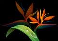 Bird of paradise flower on black background Royalty Free Stock Photo