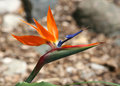 Bird of paradise flower with blurred background Stock Images